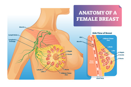 Breast anatomy vector illustration. Labeled medical female organ structure. Infographic diagram with side view of chest. Internal healthy ducts, lobe, nipple, areola, lymph and muscle closeup scheme. 向量圖像