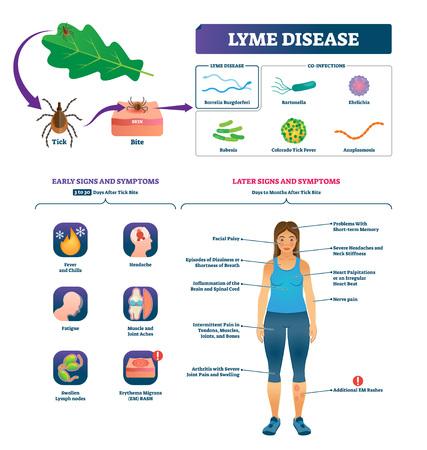 Ilustracja wektorowa choroby z Lyme. Oznaczony schemat objawów infekcji ukąszenia kleszcza. Kolekcja edukacyjna z zbliżeniem na koinfekcje i wczesnymi lub późniejszymi znakami. Szczepienia zapobiegające diagnozowaniu epidemii.