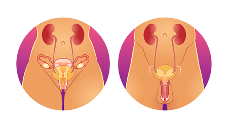 Reproductive system vector illustration. Anatomical human internal sexual organs. Healthy male and female compared genitals. Uterus, vagina and penis medical visualization and fertile gynecology.