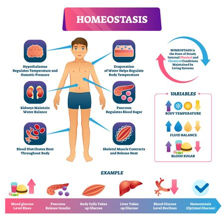 Homeostasis vector illustration. Labeled educational glucose example scheme. Internal physical and chemical state condition to maintain living systems. Body temperature, fluid balance and blood sugar.