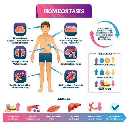 Ilustración de vector de homeostasis. Esquema de ejemplo de glucosa educativo etiquetado. Condición del estado físico y químico interno para mantener los sistemas vivos. Temperatura corporal, equilibrio de líquidos y azúcar en sangre.