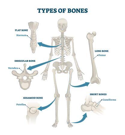 Types of bones vector illustration. Labeled anatomical skeleton set scheme. Graphic with skull and sesamoid body part. Educational medical diagram with sternum, vertebra, patella, cuneiforms and femur