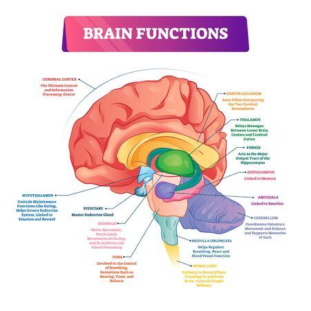 Ilustración de vector de funciones cerebrales. Explicación etiquetada esquema de partes del órgano de la cabeza. Vista lateral interior con descripción de la sección educativa. Diagrama de corteza cerebral, hipotálamo, médula espinal y tálamo.