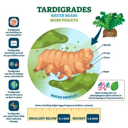 Bärtierchen-Wasserbären-Vektor-Illustration. Beschriftete beschriebene Moosferkel Infografik. Pädagogisches mikroskopisches Tier mit überlebensfähigen Fähigkeiten. Zoologische Merkmale strukturieren Nahaufnahme.