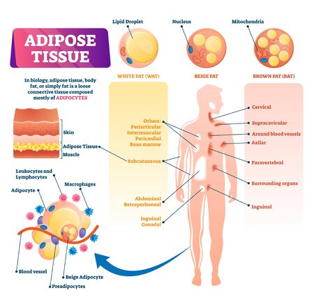 Adipose tissue vector illustration. Labeled medical body fat explanation scheme. Educational diagram with WAT, BAT and beige fat locations and structure. Infographics with inner skin section closeup. Illustration