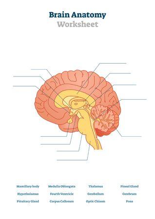 Ilustración de vector de anatomía cerebral. Estructura anatómica del órgano de la cabeza en blanco. Esquema educativo imprimible con tálamo, protuberancia, cerebro e hipotálamo. Tema de prueba de fisiología para lecciones de examen de profesores. Ilustración de vector