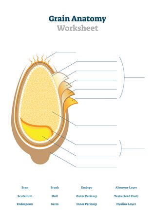 Grain anatomy worksheet vector illustration. Blank seed diagram template for school biology class. Printable teachers material with agriculture lessons topic task for students. Organic food structure.