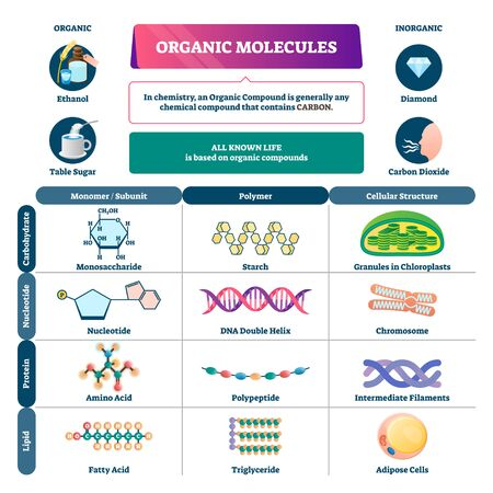 Organic molecules vector illustration. Labeled chemical educational scheme. Diagram description with monomer, polymer and cellular structure vs carbohydrate, nucleotide, protein and lipid infographic.  イラスト・ベクター素材