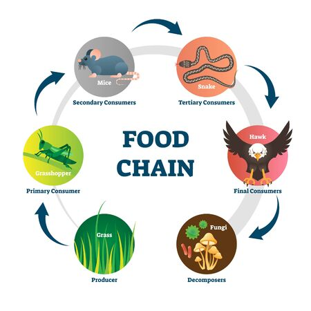 Food chain vector illustration. Labeled nature eating model circle scheme. Educational diagram with decomposers, producer, primary, secondary, tertiary and final consumers. Wildlife nutrition network.