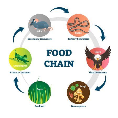 Nahrungskette-Vektor-Illustration. Beschriftetes Naturessen-Modellkreisschema. Bildungsdiagramm mit Zersetzern, Produzenten, Primär-, Sekundär-, Tertiär- und Endverbrauchern. Netzwerk für Wildtierernährung. Vektorgrafik