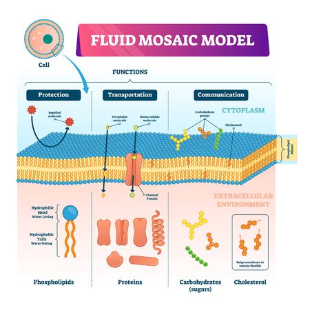 Illustrazione vettoriale del modello a mosaico fluido. Infografica sulla struttura della membrana cellulare etichettata. Schema educativo con fosfolipidi, proteine, carboidrati e colesterolo. Grafico funzioni elastiche biologiche