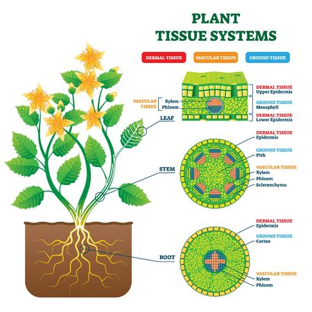 Plant Tissue Systems vector illustration. Labeled biological structure scheme. Anatomical diagram with leaf, stem and root microscopic graphic. Plant inner vascular, dermal and ground cross section.  イラスト・ベクター素材