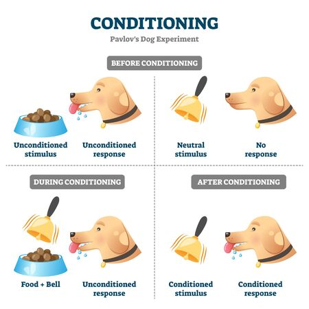 Conditioning vector illustration. Labeled Pavlovian respondent learn scheme. Dog experiment with food and bell. Salivation research diagram with behavior stimulus psychological educational explanation