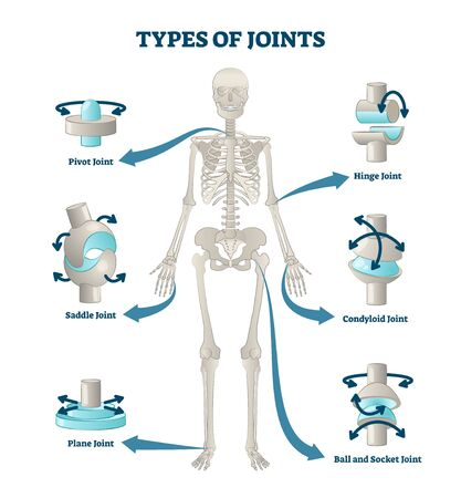 Types of joints vector illustration. Labeled skeleton connections scheme. Educational anatomical diagram with pivot, saddle, plane, hinge, condyloid and ball socket. Bones location and titles example.