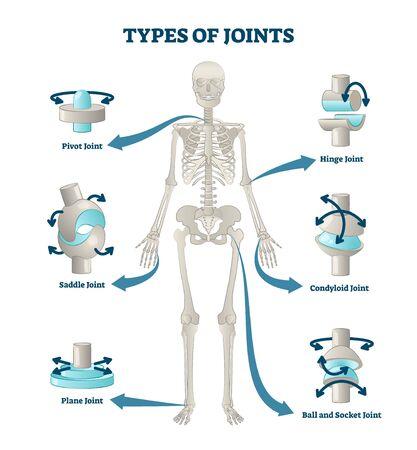 Tipos de articulaciones ilustración vectorial. Esquema de conexiones de esqueleto etiquetado. Esquema anatómico educativo con pivote, sillín, plano, bisagra, condiloide y rótula. Ejemplo de ubicación y títulos de huesos.