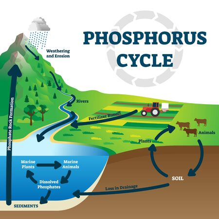 Ilustración de vector de ciclo de fósforo. Esquema de elementos químicos de tierra etiquetados. Diagrama educativo con el movimiento de sustancias explicado desde los ríos, la escorrentía de fertilizantes, el medio marino hasta la formación rocosa