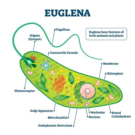 Euglena vector illustration. Labeled microorganism structure and description. Biological inner parts scheme for genus of single cell flagellate eukaryotes. Diagram with flagellum and stigma location.