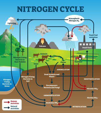 Stickstoffkreislauf-Vektor-Illustration. Beschriftetes pädagogisches natürliches chemisches Schema. Grafik mit menschlichen und natürlichen Aktivitäten als Teil des Ökosystems der Erde. Modell mit Assimilation und Nitrifikation. Vektorgrafik