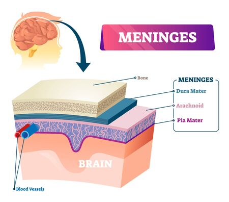 Meninges vector illustration. Labeled anatomical educational head surface layers scheme. Healthy and normal body part side view closeup with structure titles and location in head. Explanation diagram. Çizim