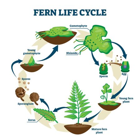 Fern life cycle vector illustration. Labeled educational development process scheme. Different plant stages examples with gametophyte, rhizoids, sorus and spores. Self reproduction explanation scheme. Illustration