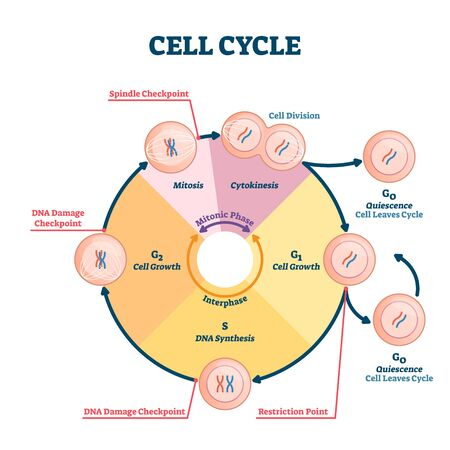 Cell cycle vector illustration. Educational microbiological phases scheme. Scientific section division with quiescence, growth, restriction, DNA synthesis, damage or spindle checkpoint diagram parts.