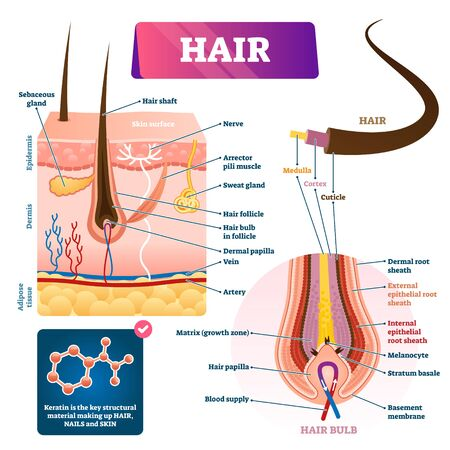 Hair anatomy structure diagram vector illustration. Skin layers cross section with dermal papilla, follicle, glands and blood flow. Hair bulb scheme with membrane matrix, melanocyte and root sheath.