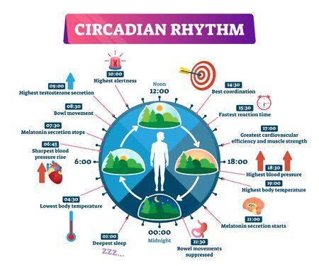 Circadianer Rhythmus-Vektor-Illustration. Beschriftetes pädagogisches Tageszyklusprogramm. Täglicher Zeitplan für die innere Regulierung des menschlichen Körpers. Erklärung des natürlichen Schlaf-Wach-Prozesses und Chronobiologie-Infografik.