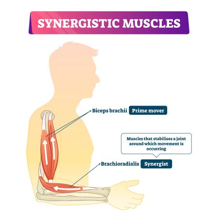 Synergistic muscles vector illustration. Labeled arm action support scheme. Human body medical organ synergy to fix joint when movement is occurring. Anatomical explanation of internal biceps system.
