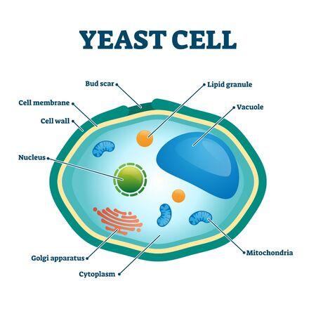 Ilustración de vector de células de levadura. Diagrama de estructura de primer plano de microorganismo hongo etiquetado. Esquema biológico con títulos de partes internas educativas. Ingrediente del proceso de fermentación natural unicelular.