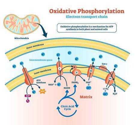 Ilustración de fosforilación oxidativa. Esquema de metabolismo ligado al transporte de electrones etiquetado. Diagrama educativo con células que utilizan enzimas para oxidar el proceso de nutrientes en infografías explicativas.