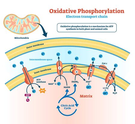 Oxidative phosphorylation illustration. Labeled electron transport linked metabolism scheme. Educational diagram with cells use enzymes to oxidize nutrients process in explanation infographics.