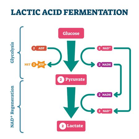 Lactic acid fermentation process scheme, labeled illustration diagram. Biological stages with glucose, pyruvate and lactate regeneration system. Bio science explained.