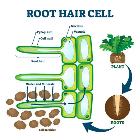 Root hair cell collecting mineral nutrients and water from soil, biological labeled plant system diagram. illustration educational cross section scheme. Cytoplasm, nucleus and other elements.