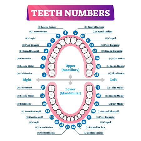 Teeth numbers oral cavity scheme with upper and lower jaws and incisor, cuspid, bicuspid and molar tooth types. Dentistry related educational and informative graphic. Maintaining healthy mouth hygiene