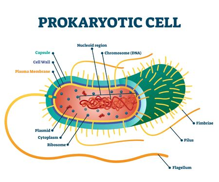 Prokaryotic cell structure diagram, illustration cross section labeled scheme. Microbiology science educational information. Micro organism research and bacteria study. Cell elements example.