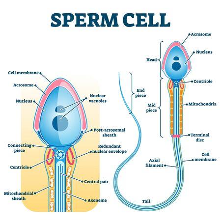 Anatomia plemnika, schemat płodności edukacji, schemat oznaczony ilustracją. Genetyka i badania nad systemami rozrodu człowieka. Badanie ciąży i pomoc medyczna w prokreacji. Ilustracje wektorowe