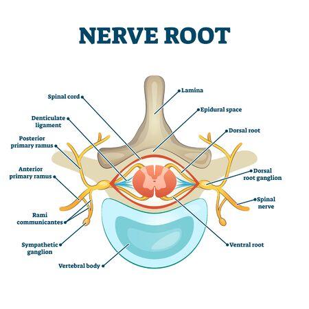 Estructura anatómica de la raíz nerviosa etiquetada sección transversal, diagrama educativo de ilustración vectorial. Información médica con esquema raíz. Guía de salud de la columna vertebral humana como cartel informativo. Ejemplo gráfico.