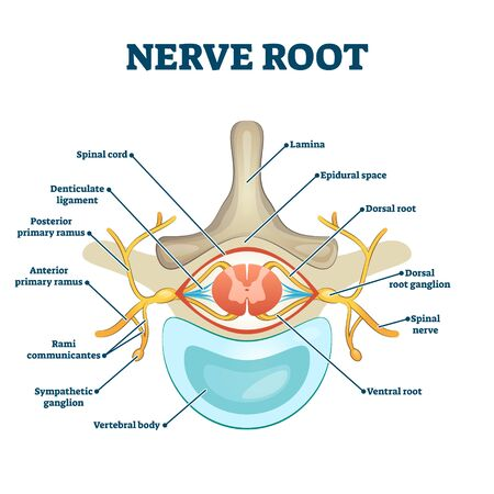 Nerve root anatomical structure labeled cross section, vector illustration educational diagram. Medical information with root scheme. Human spine health guide as informative poster. Graphical example. Ilustracja