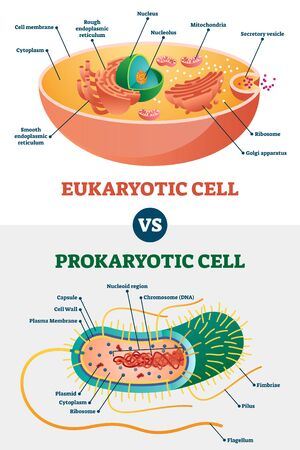 Eukaryotic vs Prokaryotic cells, educational biology vector illustration diagram. Microbiology scheme with cell type examples. Cell membranes, cytoplasm, chromosomes, ribosomes and various organelles.  イラスト・ベクター素材