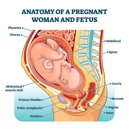 Anatomy of a pregnant woman and fetus labeled diagram Ilustracja