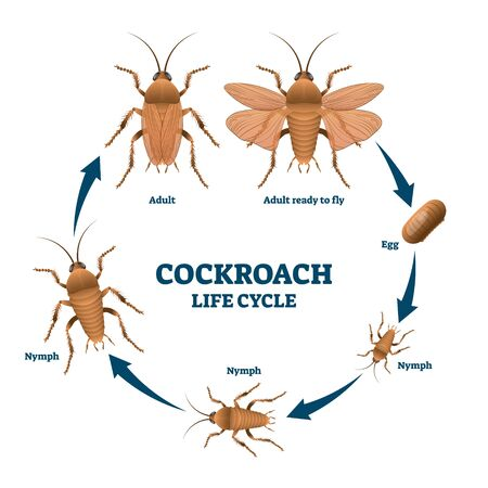 Cockroach life cycle diagram, vector illustration scheme with labeled developing stages from egg to nymph to adult. Biology science education info. Detailed drawing with head, thorax and abdomen.