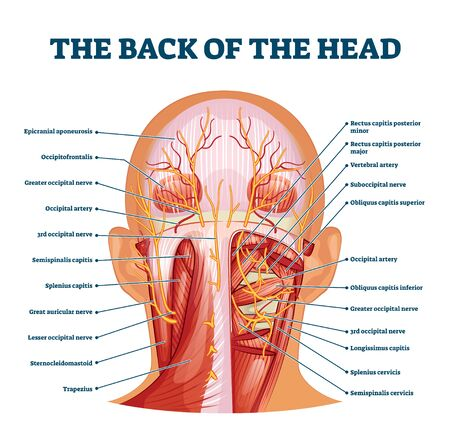 Back of the head muscle structure and nerve system diagram, vector illustration labeled medical health care scheme. Educational information for sports fitness training and chiropractor therapy.