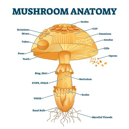 Mushroom anatomy labeled biology diagram vector illustration. Forest nature exploring and education. Spore bearing fruiting body of a fungus. Structural drawing scheme as learning information.