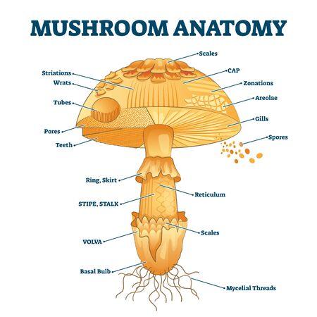 Pilzanatomie beschriftet Biologie-Diagramm-Vektor-Illustration. Waldnaturerkundung und Bildung. Sporentragende Fruchtkörper eines Pilzes. Tragwerkszeichnungsschema als Lerninformation.