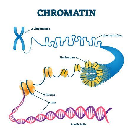 Chromatierung biologische Diagramm-Vektor-Illustration. Nahaufnahme mit Nukleosom, Histon und DNA-Doppelhelix. Informationen zur naturwissenschaftlichen Bildung. Chromosomenstrukturelemente grafisches Beispielmodell.