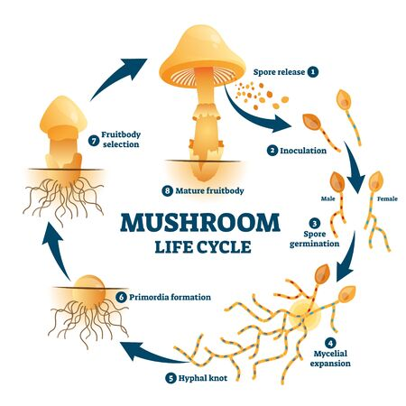 Mushroom anatomy life cycle stages diagram, vector illustration labeled circular scheme. From spore release to inoculation, germination, mycelial expansion and hyphal knot to the primordia formation.