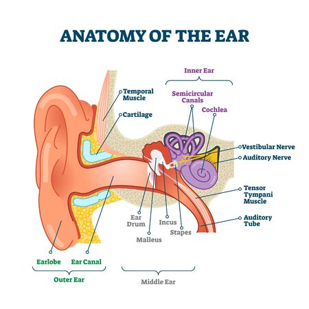 Anatomy of the ear, labeled health care vector illustration diagram. Outer, middle and inner ear sections. Human body sensory organ education scheme. Vestibular system with nerves, cochlea and canals.