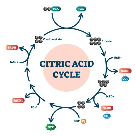 Citric acid cycle diagram, vector illustration molecular scheme. Organic acid found in citrus fruits and source of the sour food taste. Biochemistry molecular system study guide graphical information.