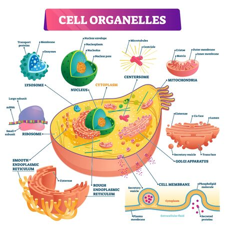 Cell organelles biological vector illustration diagram. Cross sections of nucleus, cytoplasm liquid, centresome tubes, mitochondria, golgi apparatus, membrane, endoplasmic reticulum and RNA ribosome.