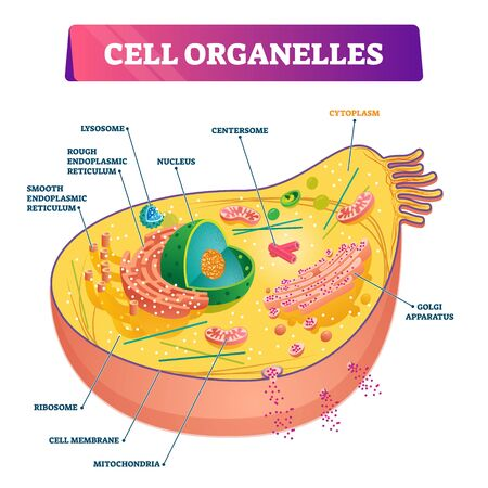 Cell organelles biological anatomy vector illustration diagram of the nucleus, cytoplasm liquid, centresome tubes, mitochondria, golgi apparatus, membrane, endoplasmic reticulum and RNA ribosome. Illustration